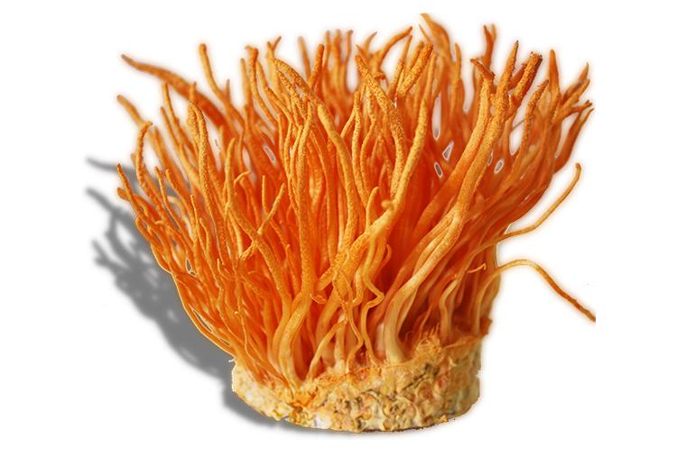 Đông trùng hạ thảo nhân tạo có mức giá sấp sỉ 100 triệu đồng 1 kg nhưng chất lượng thì không thua kém gì trùng thảo tự nhiên