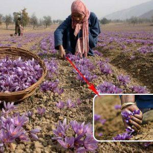 Giá nhụy hoa nghệ tây cao một phần do quá trình thu hái phải được thực hiện thủ công 100% để đảm bảo chất lượng sợi nhụy